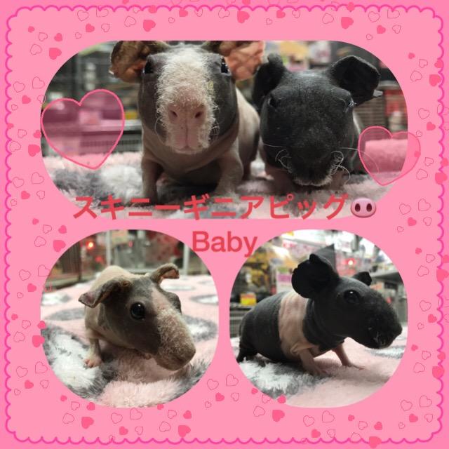 【インター小動物】可愛い可愛いスキニーギニアピッグBabyの入荷です(●´ω`●)