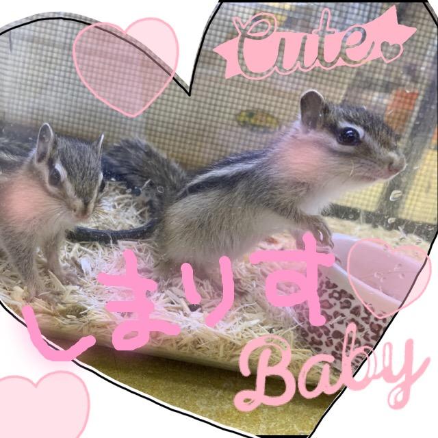 【インター小動物】お待たせ致しました〜!!シマリス第1便到着です(*´∀`*)