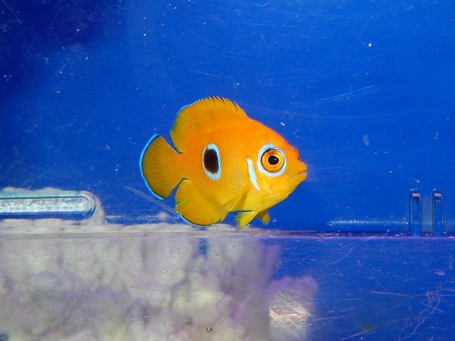 レモン幼魚斑^^♪