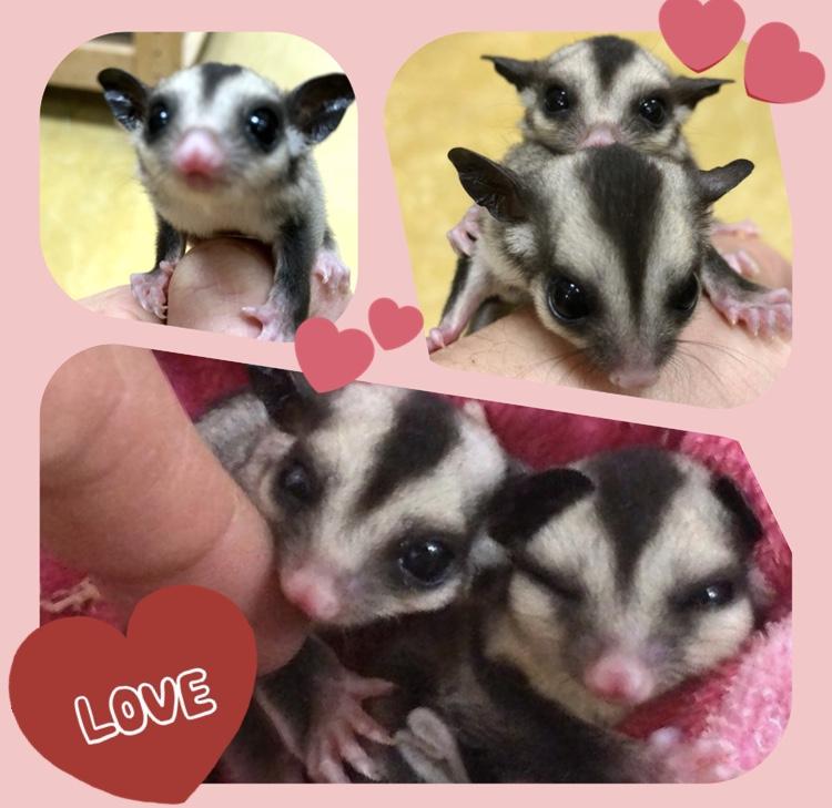 【インター小動物】双子の女の子♪ぺポニ生まれのフクモモベビー!
