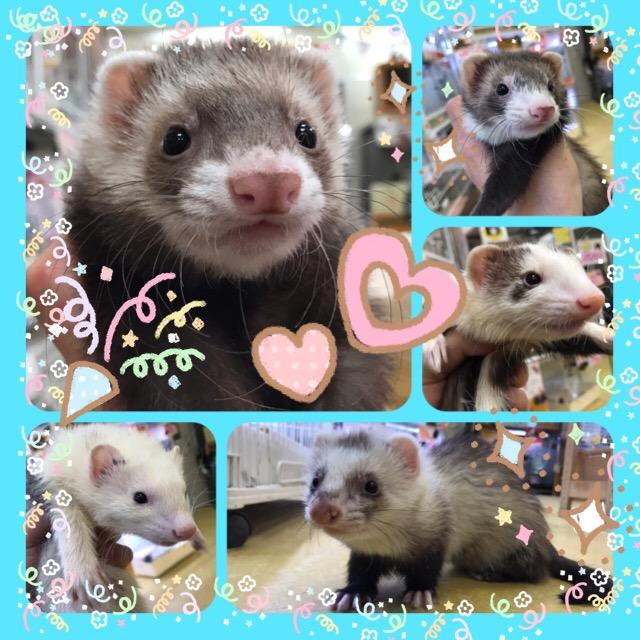 【インター小動物】春は陽気にフェレットブログでしょ!
