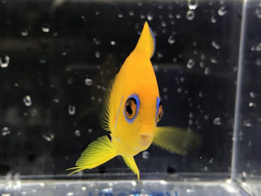 国産レモンの様な黄色!