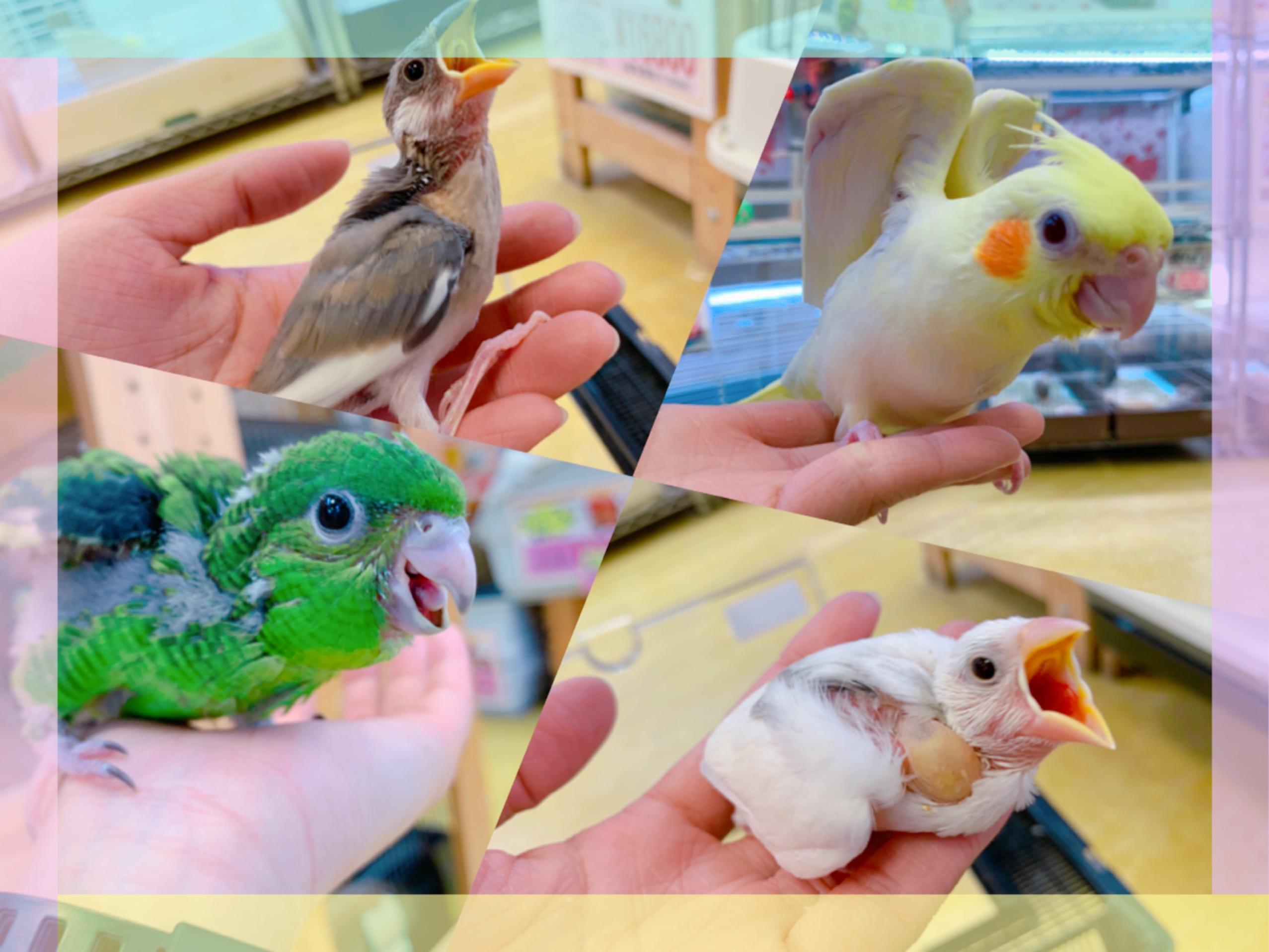 【インター小動物】ひなひないっぱいきました〜♪(´ε` )