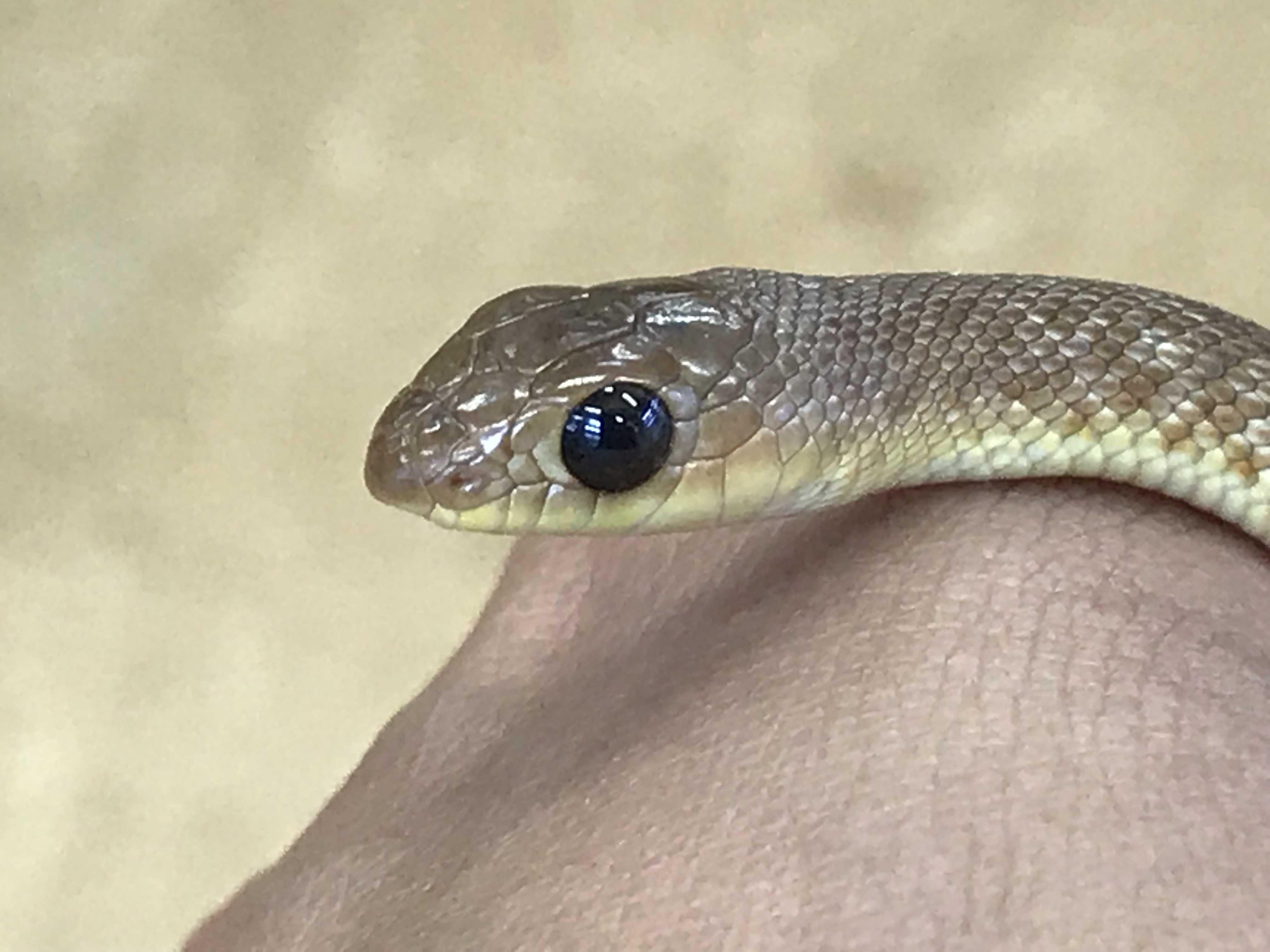 嘴・天狗なヘビ&極美クサガメ@インター爬虫類