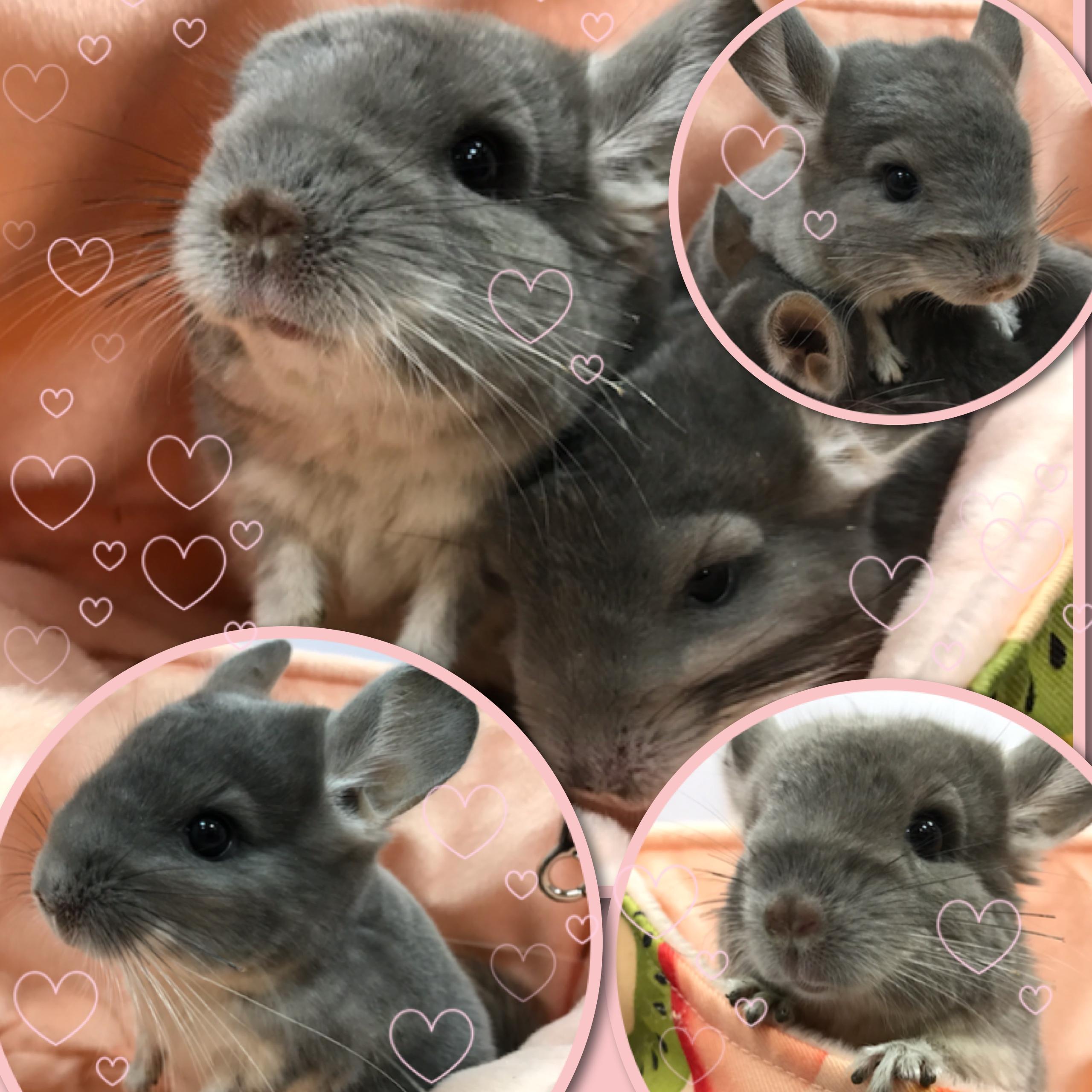 【インター小動物】極美品種のバイオレットがついにペアで着弾ッ!!!!