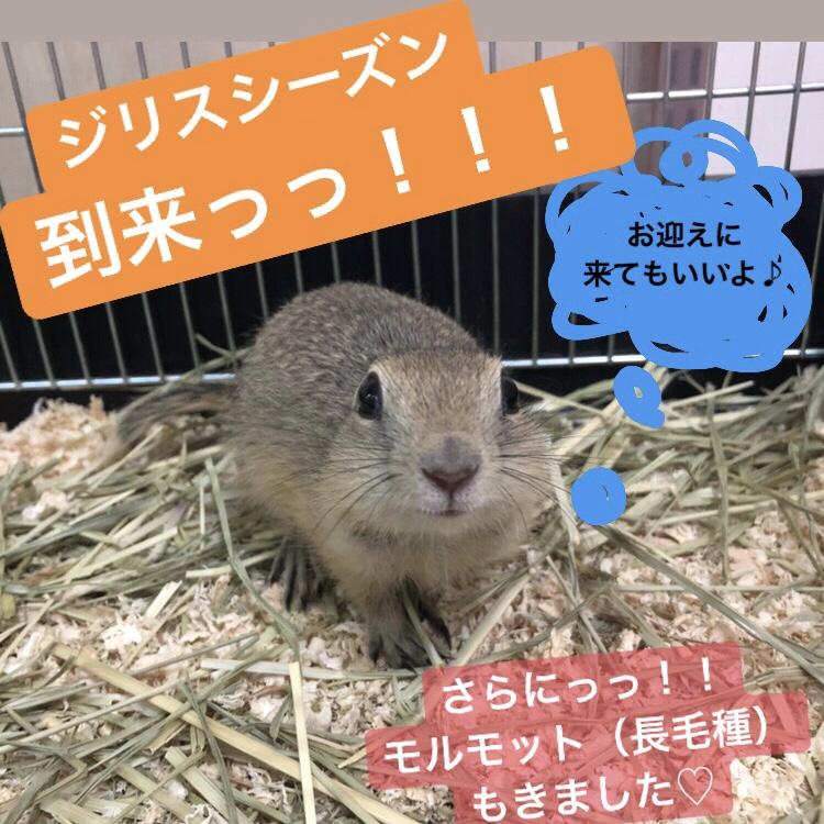【 春ペポニ 】リチャがきました!モルモットもきましたよ!!!
