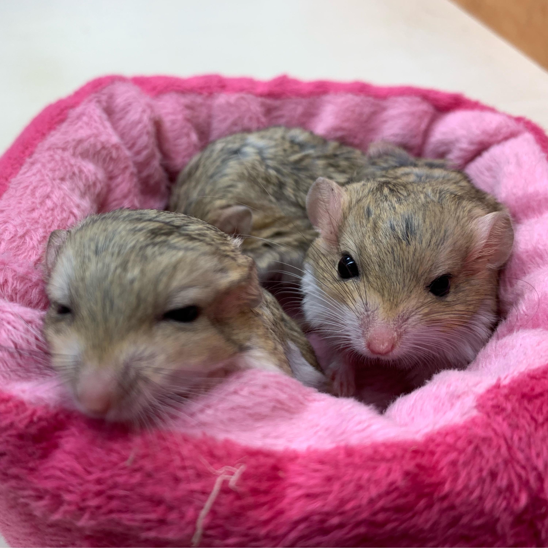 ペポニ生まれの歌うネズミとぷにぷにしっぽのベビーがやって来た!