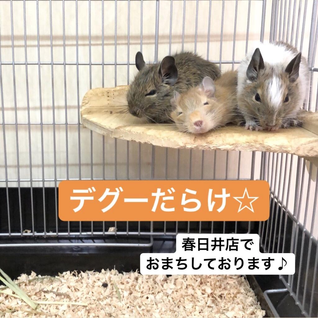 【 春ペポニ 】デグーだらけ☆