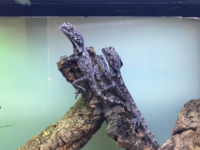 いろんなトカゲと大人しいトッケイが来てます!@インター爬虫類