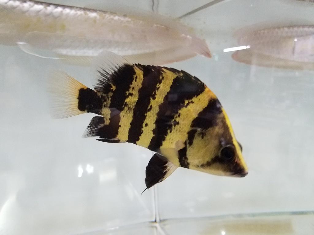 ダトニオ ニューギニア