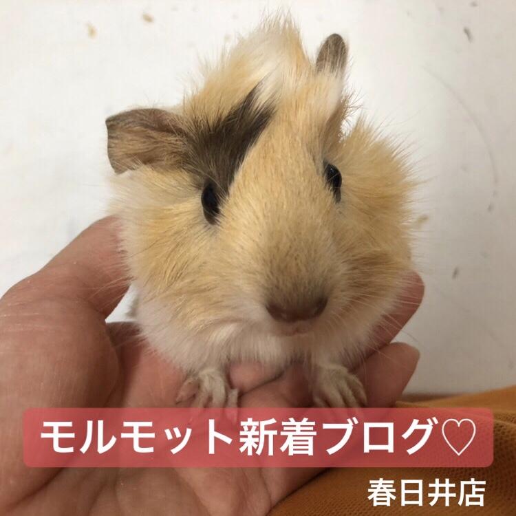 【 春ペポニ 】モルモット新着ブログ♡