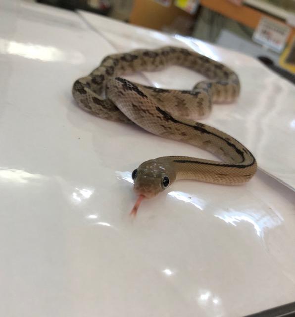 【春ペポニ】ギラギラボアと愉快なナミヘビ達!!