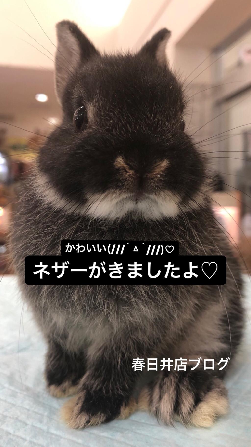 【 春ペポニ 】ネザー、ジャイアントジャービル、コザクラ新着ブログ♡