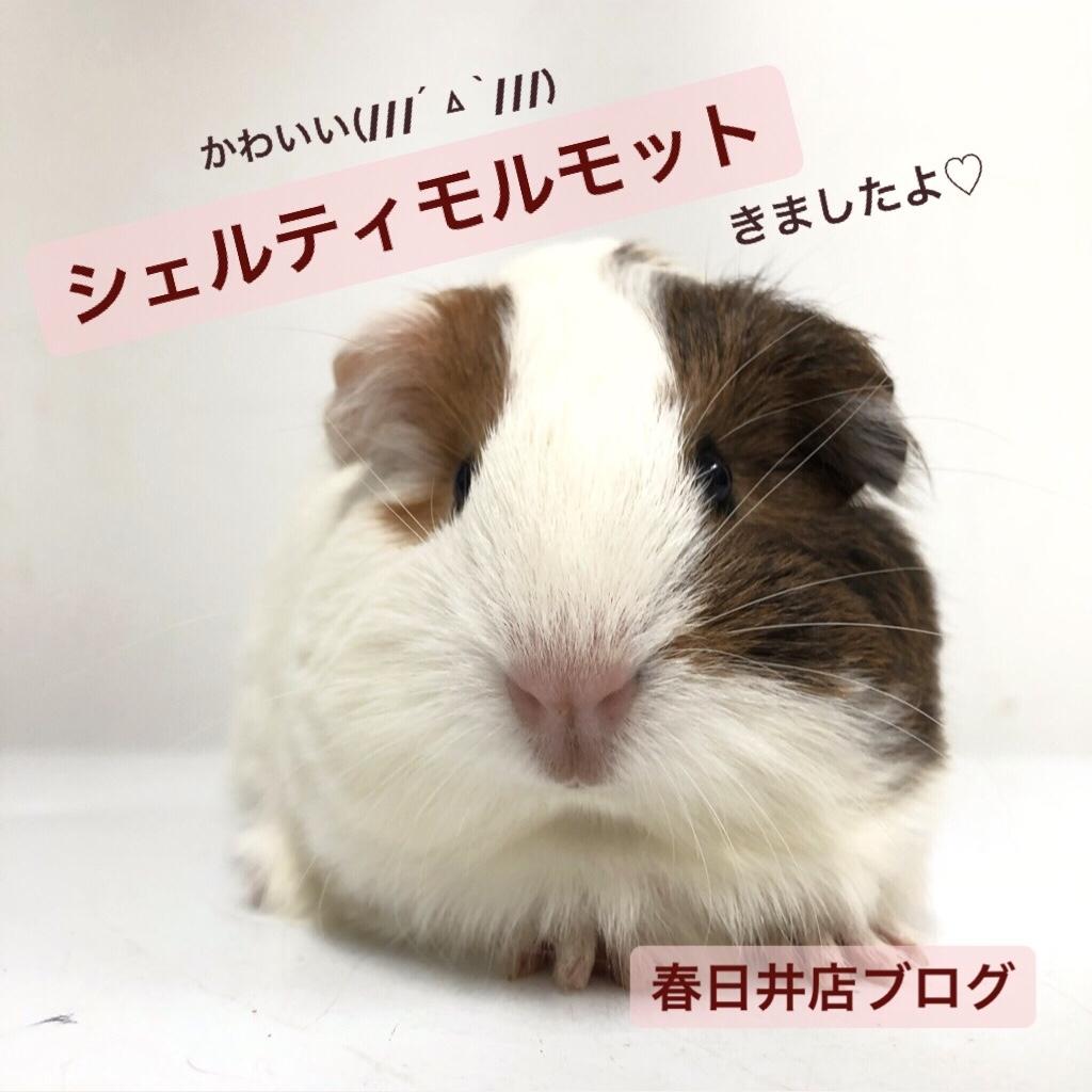 【 春ペポニ 】♡New♡シェルティモルモットが可愛すぎます!