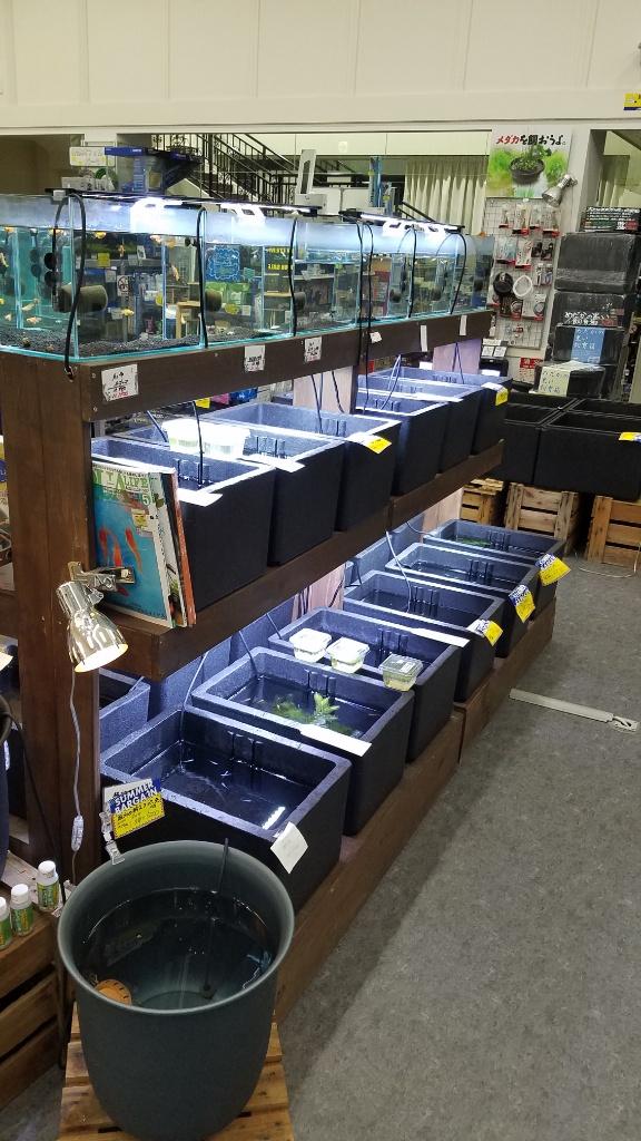 めだかの在庫は30種 春日井熱帯魚