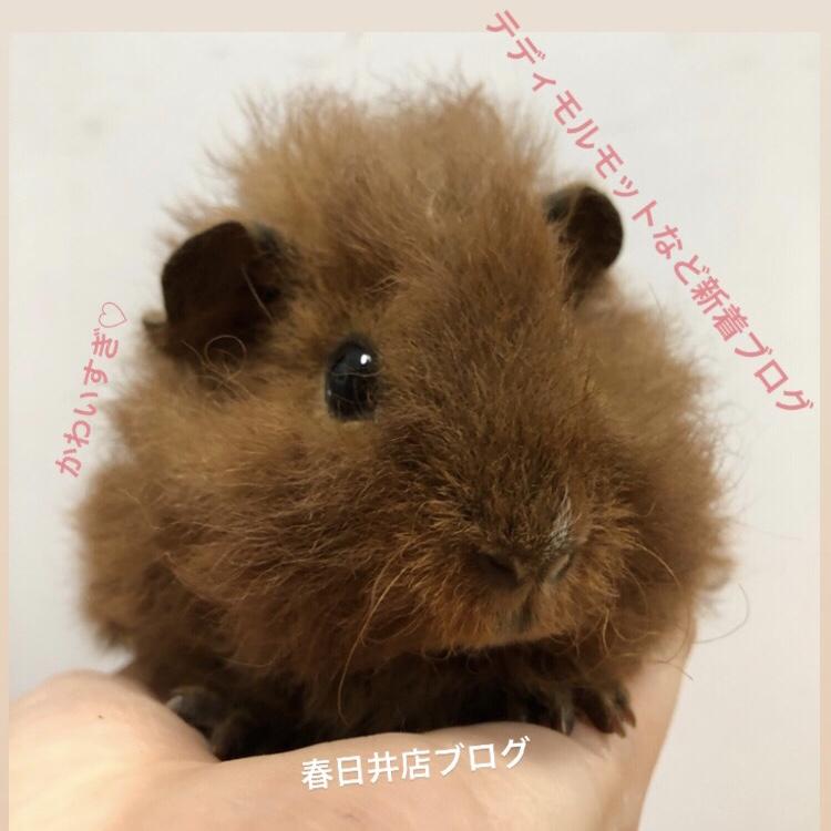 【 春ペポニ 】モルモット新着ブログ!