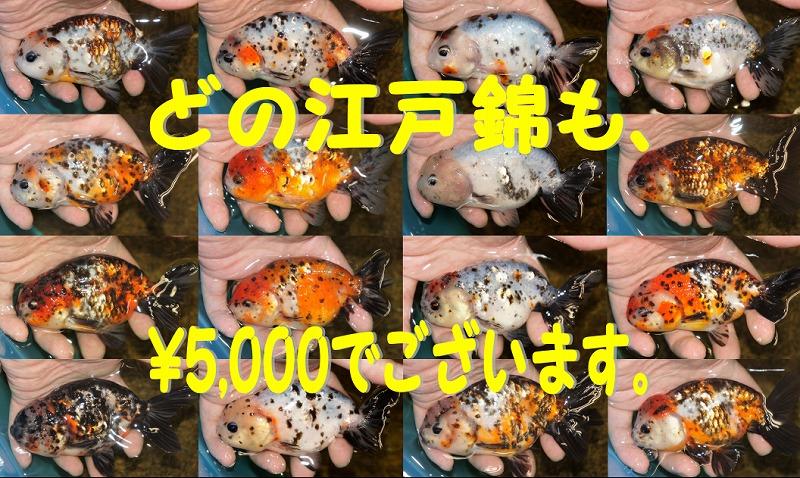 新入荷&朝市[インター金魚]