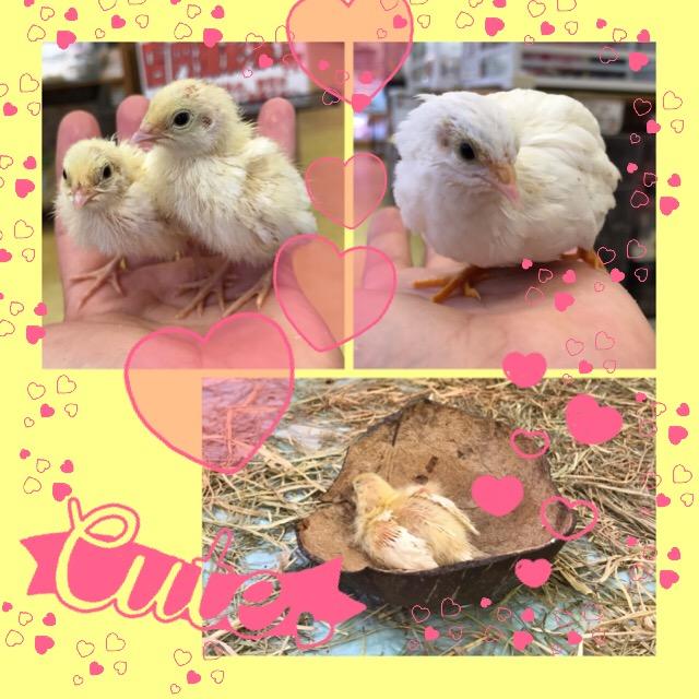 【インター小動物】白き家禽たちの入荷です♪♪