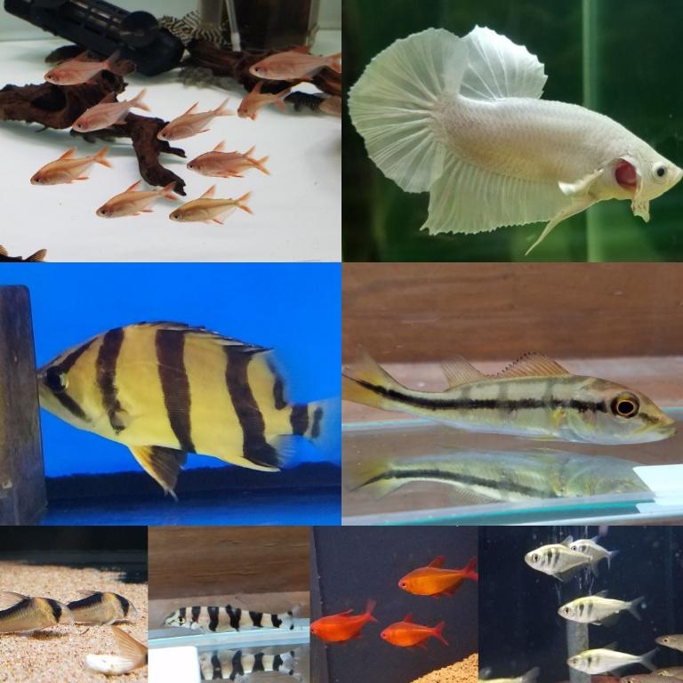 レッドチェリーテトラ入荷 春日井熱帯魚