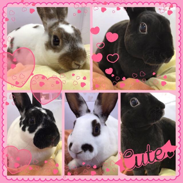 【インター小動物】久々にミニレッキスが大量に♪♪艶やかなウサギたち(*゚∀゚*)