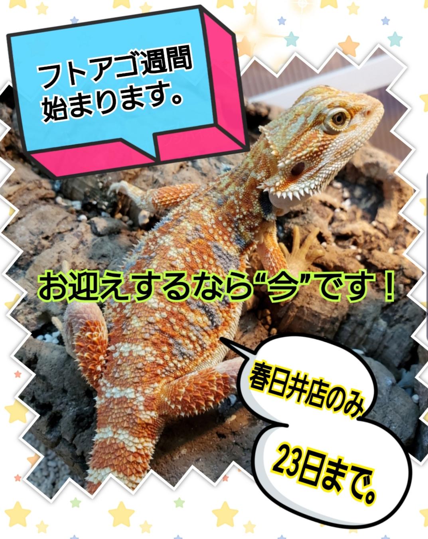 【春日井ペポニ】フトアゴ週間、始まりました。