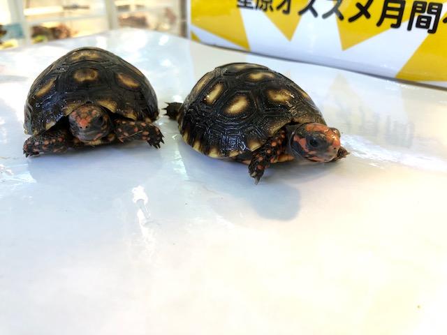 【春ペポニ】リクガメ各種きてます!!