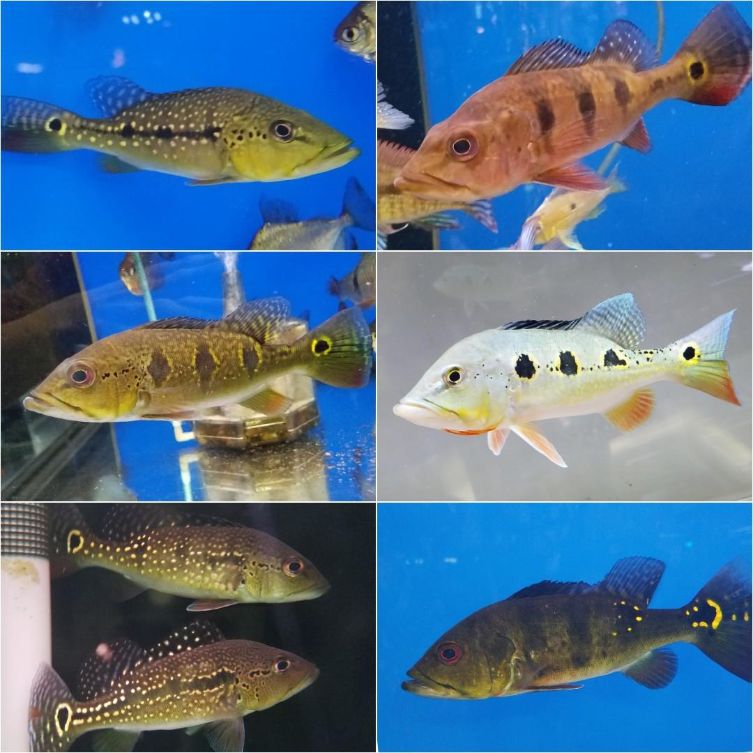 アイスポット(キクラ)コレクション!春日井熱帯魚