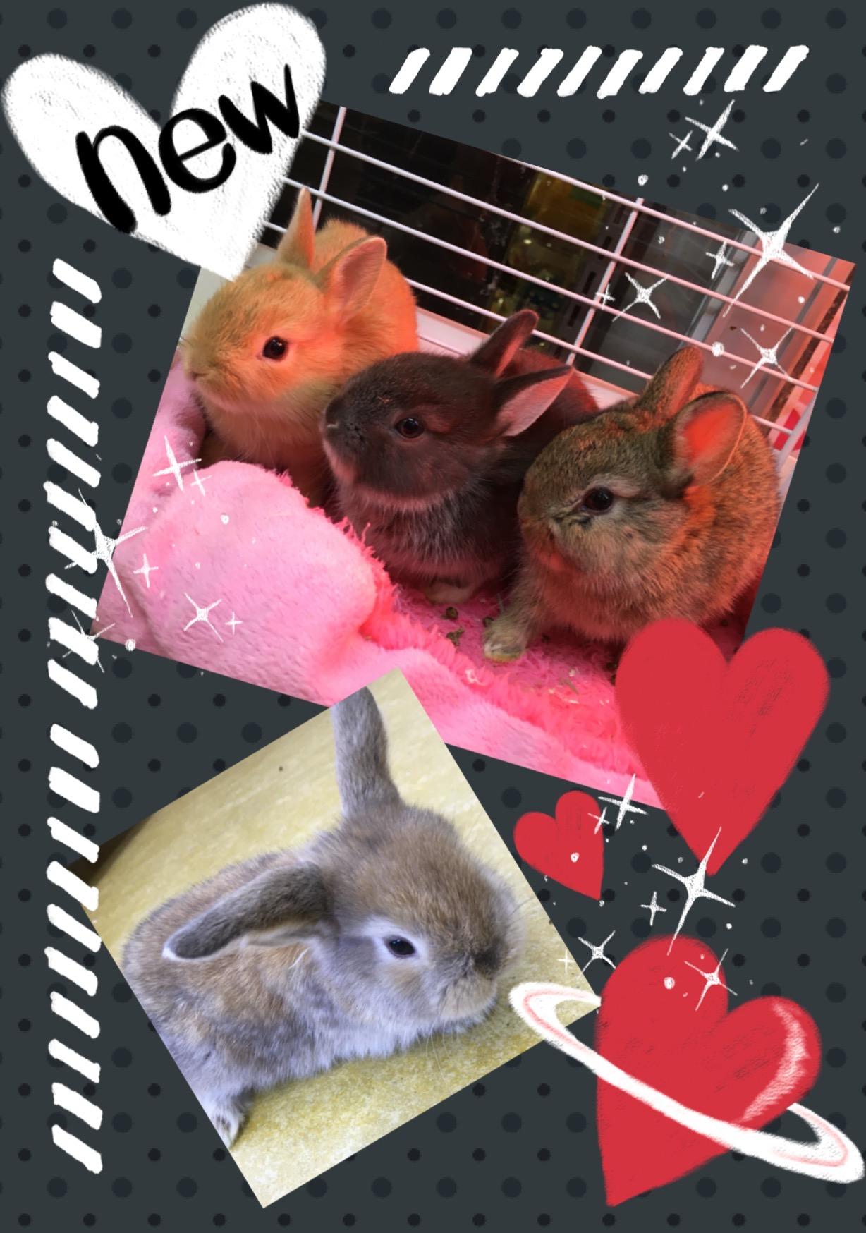 【インター小動物】超久々!!ウサギBABYの入荷です♪