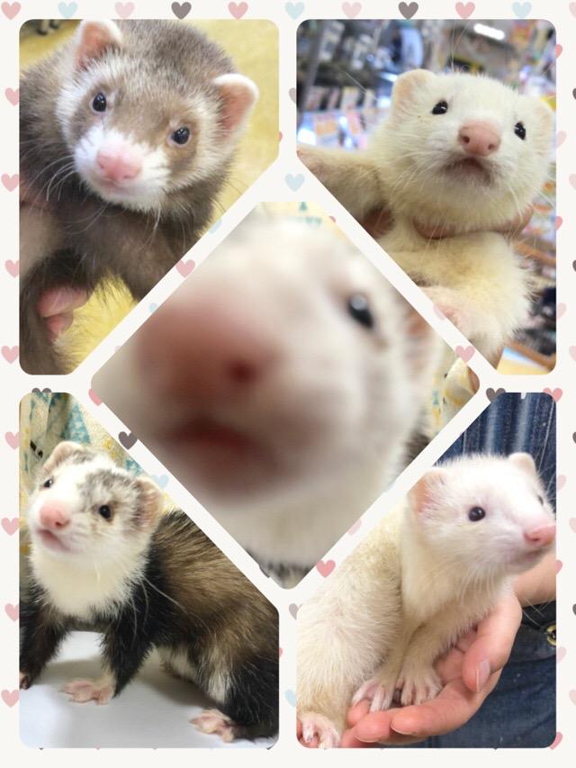 【インター小動物】かわいいかわいいフェレベビちゃん!
