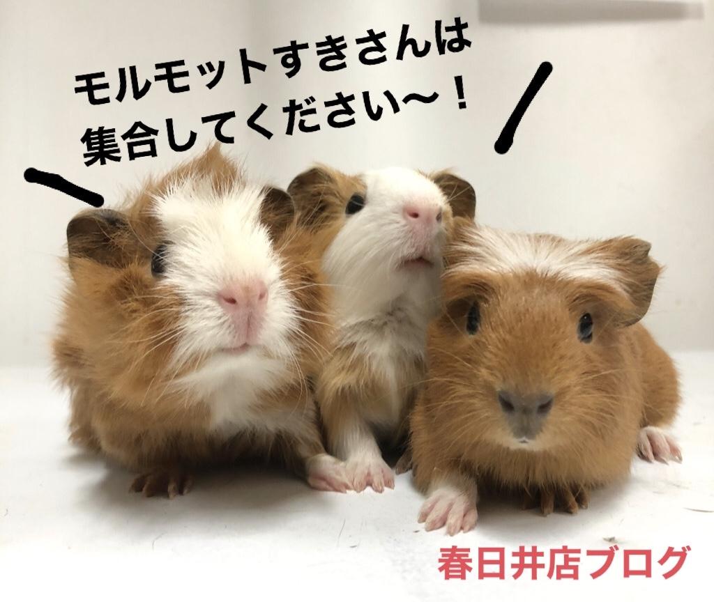 【 春ペポニ 】モルモット、新着ブログ♡