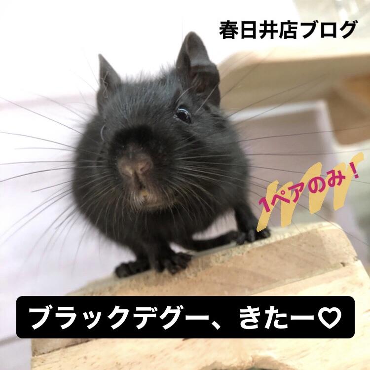 【 春ペポニ 】ブラックデグー、きたー(*゚ロ゚) !
