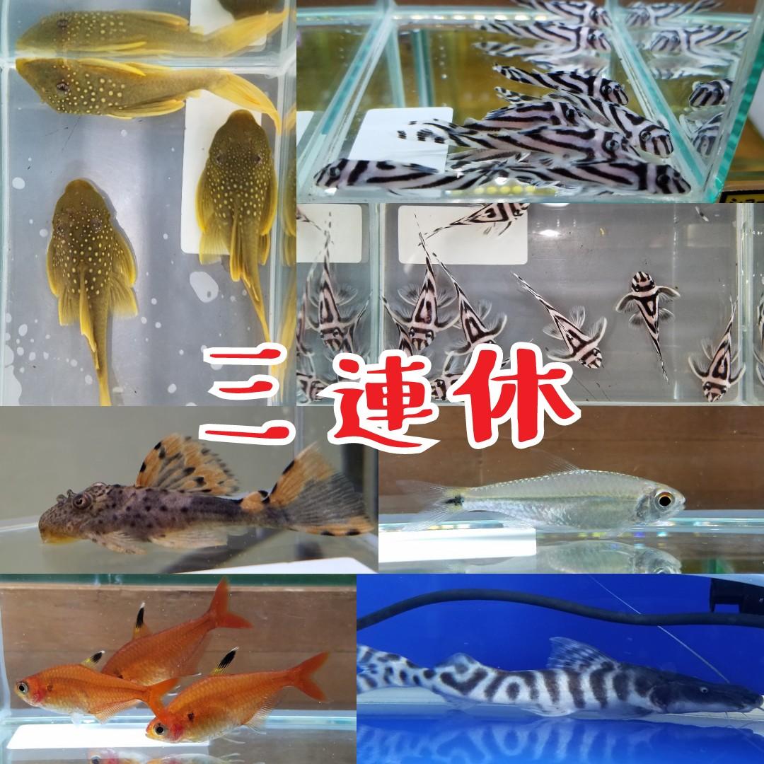 三連休特価とインター店7周年記念特売 春日井熱帯魚