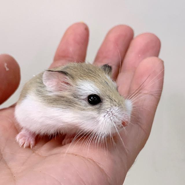 【春ペポニ】鼠