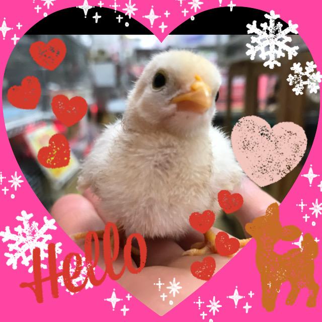 【インター小動物】家禽の雛も入荷です♪