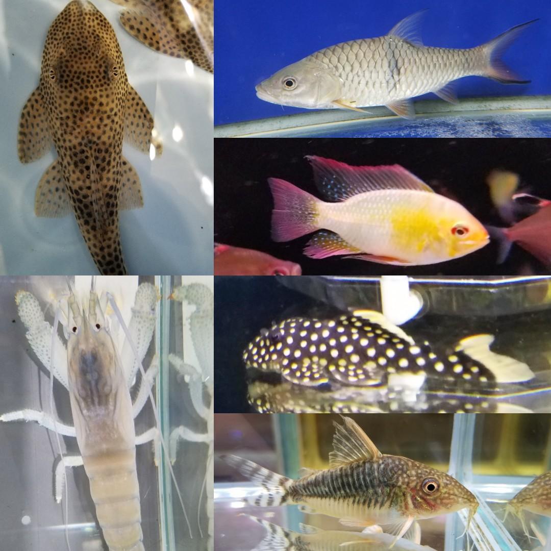 12月8日の新入荷 春日井熱帯魚