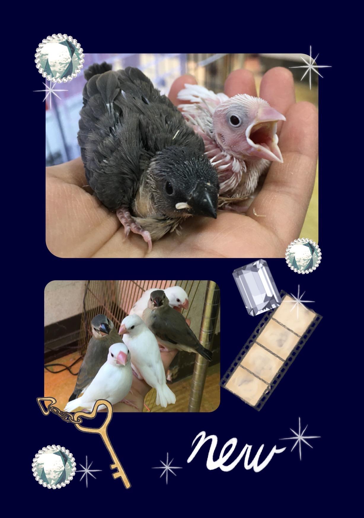 【インター小動物】文鳥の宝石箱〜なインター店♪♪