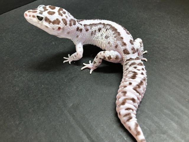 新着生体の紹介がマジで追い付かない(笑)@インター爬虫類