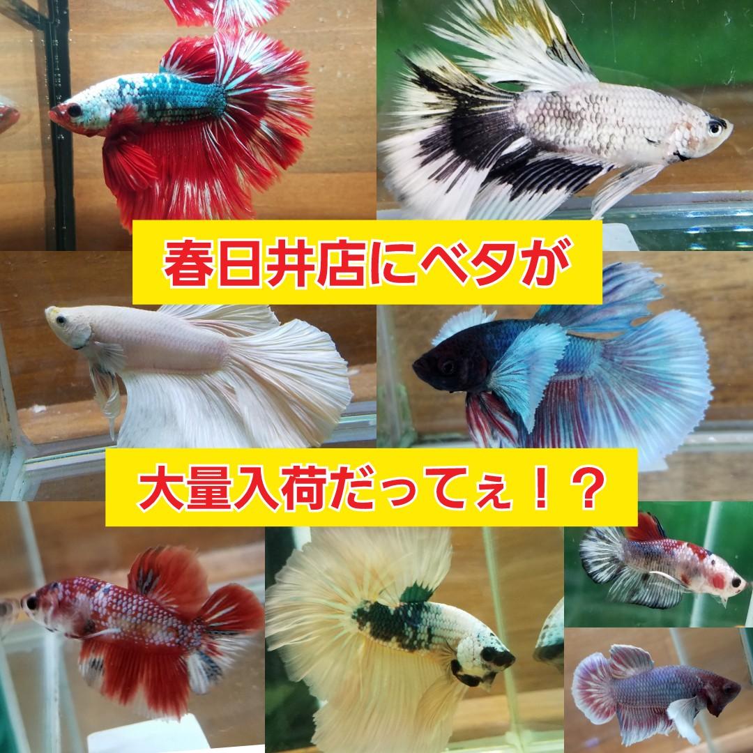 ベタ入荷!春日井熱帯魚