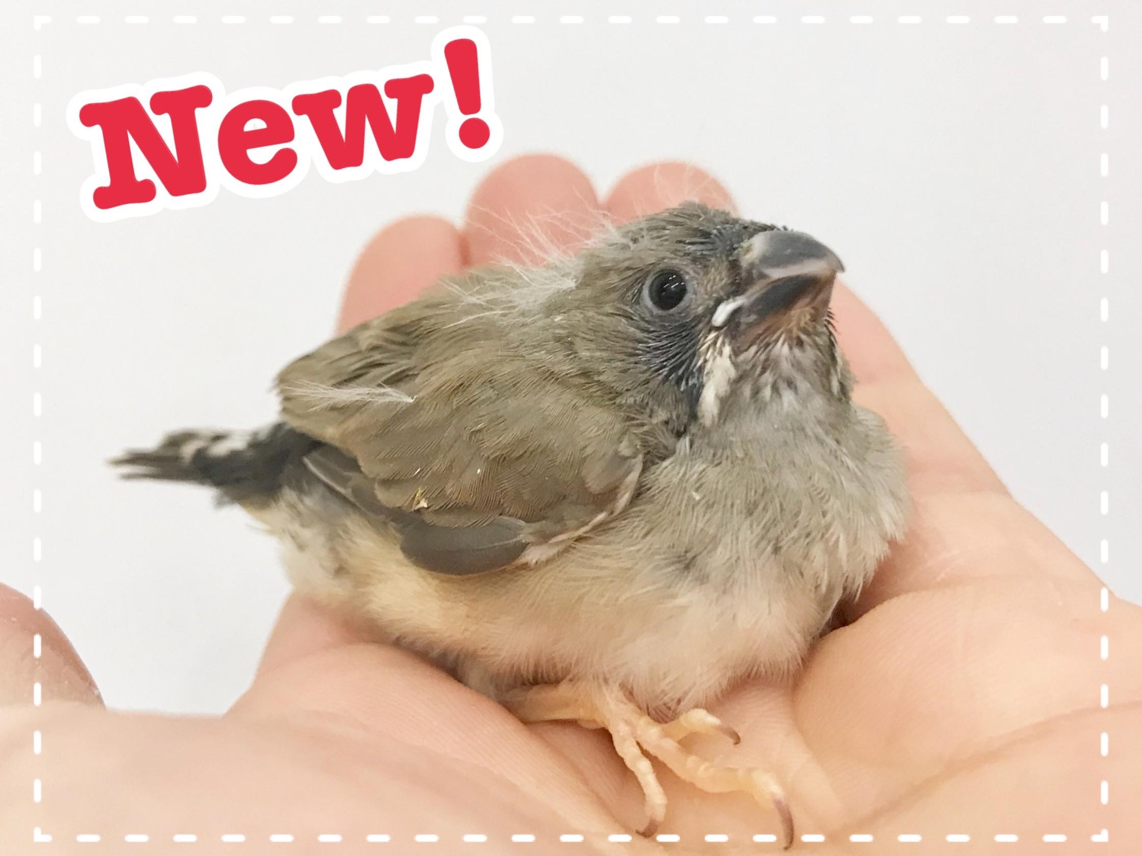 【春ペポニ】錦華鳥など!【ヒナ新着】