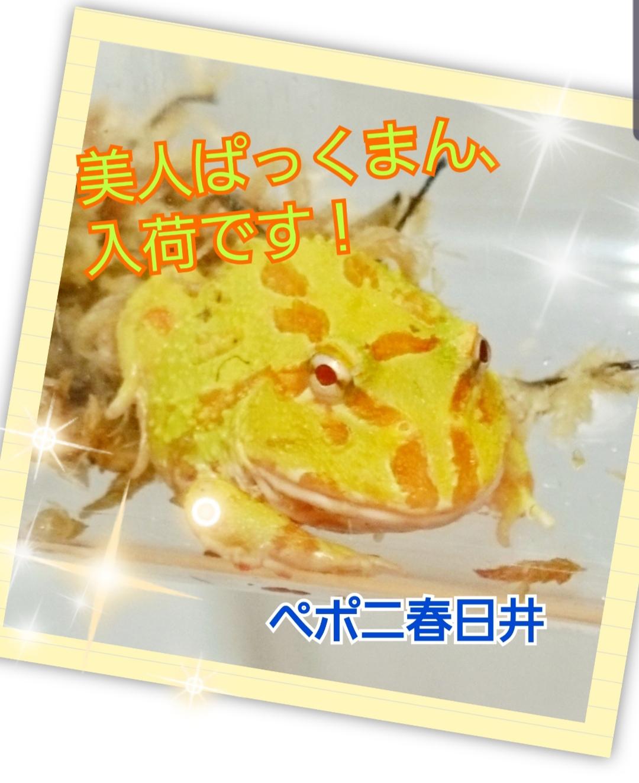 【春ペポニ】カエル新着!極美来てます!!
