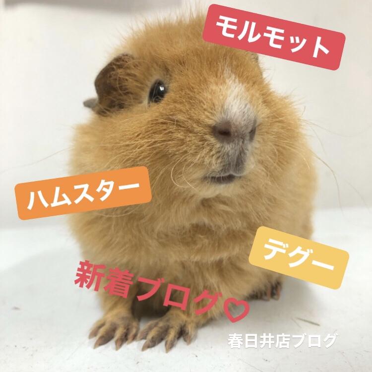 【 春ペポニ 】モルモット、デグー、ハムスター新着です!