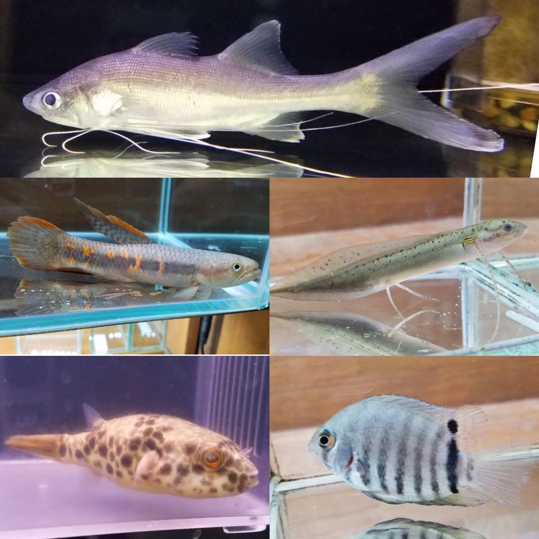 シャークマウススレッドフィンパラダイス、アンフィビウス、エチエチ入荷!春日井熱帯魚