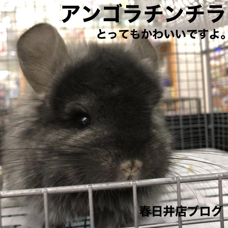 【 春ペポニ 】アンゴラチンチラブログ♡