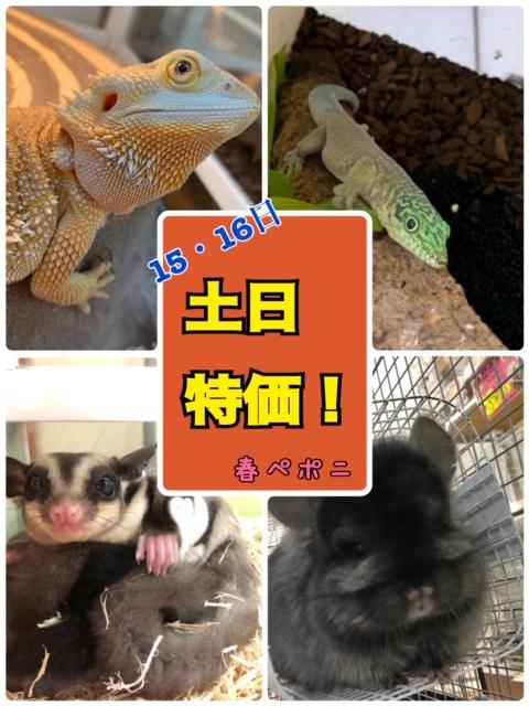 【春ペポニ】15・16日の土日特価!