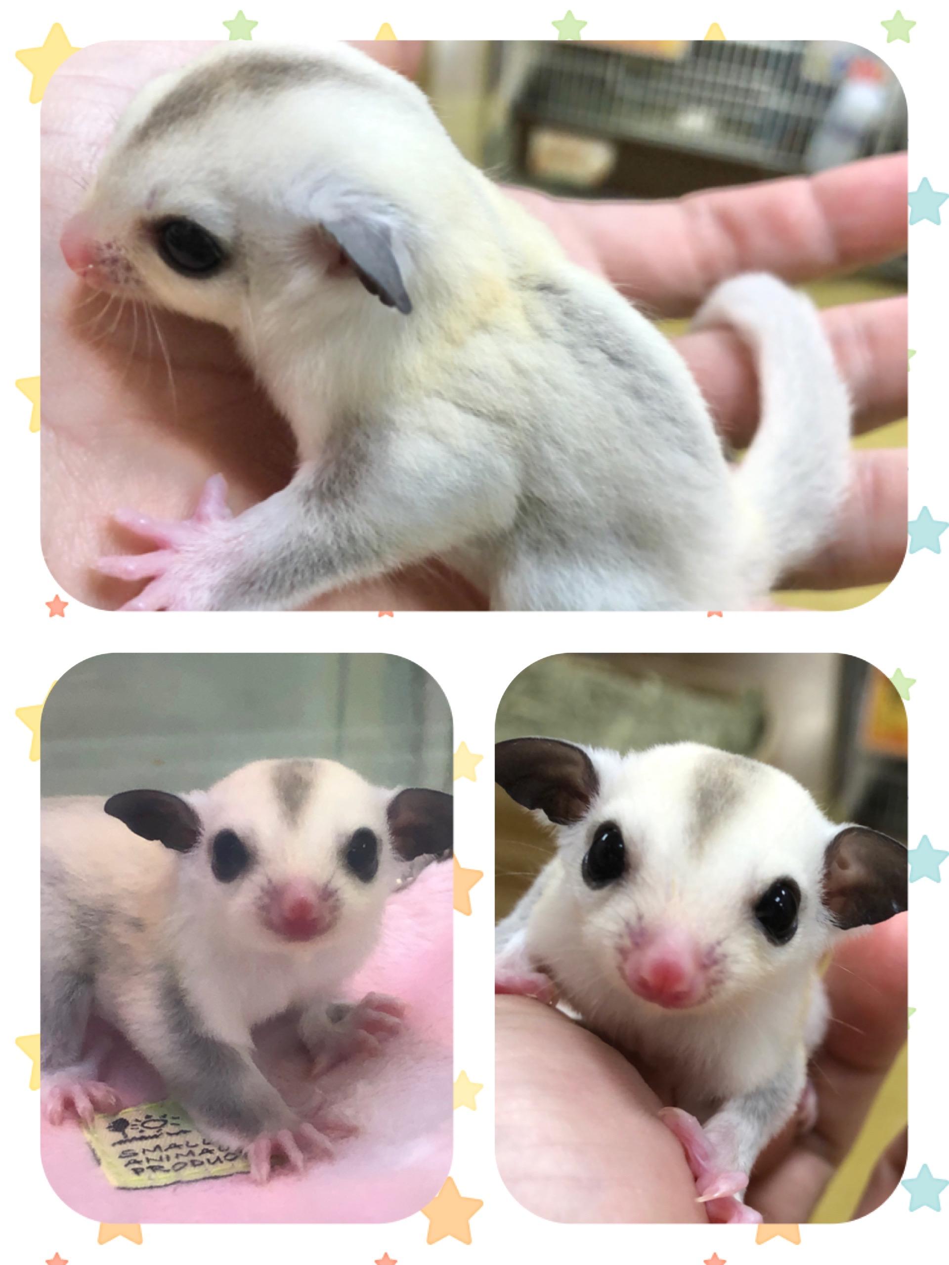 【インター小動物】念願のプラチナがついに✨