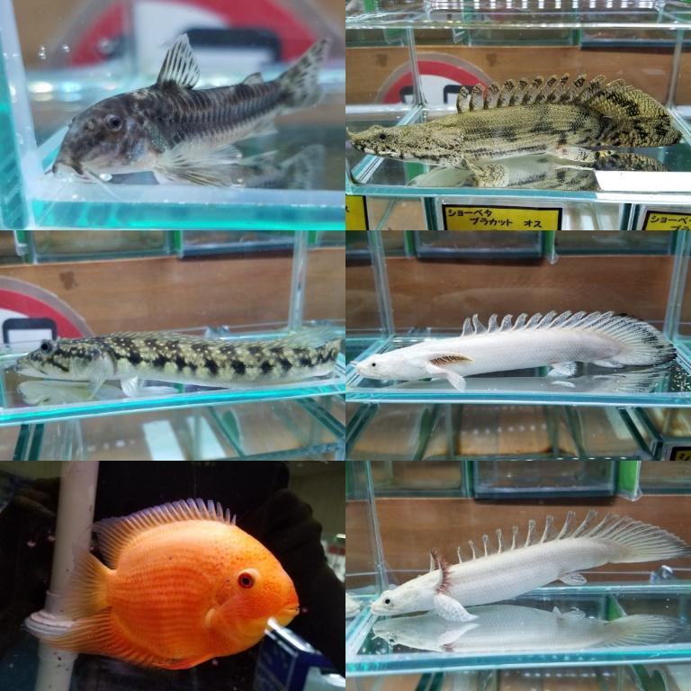 プラチナエンドリ入荷 春日井熱帯魚