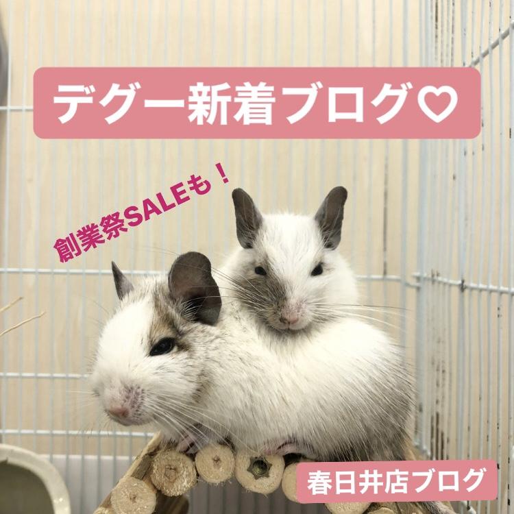 【 春ペポニ 】デグー新着ブログ。