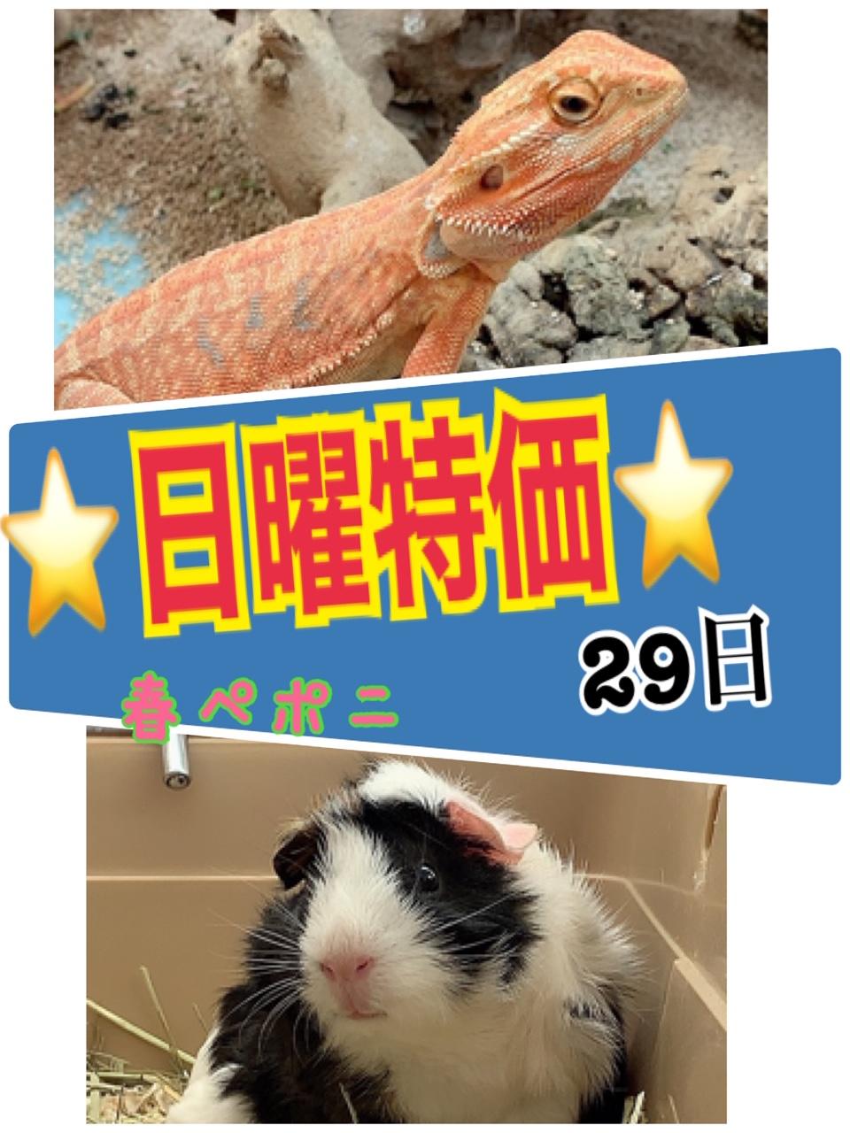 【春ペポニ】日曜特価!