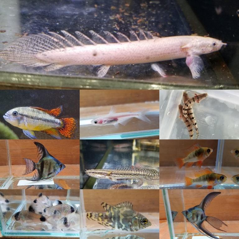 デルヘジィ色彩変異入荷!春日井熱帯魚