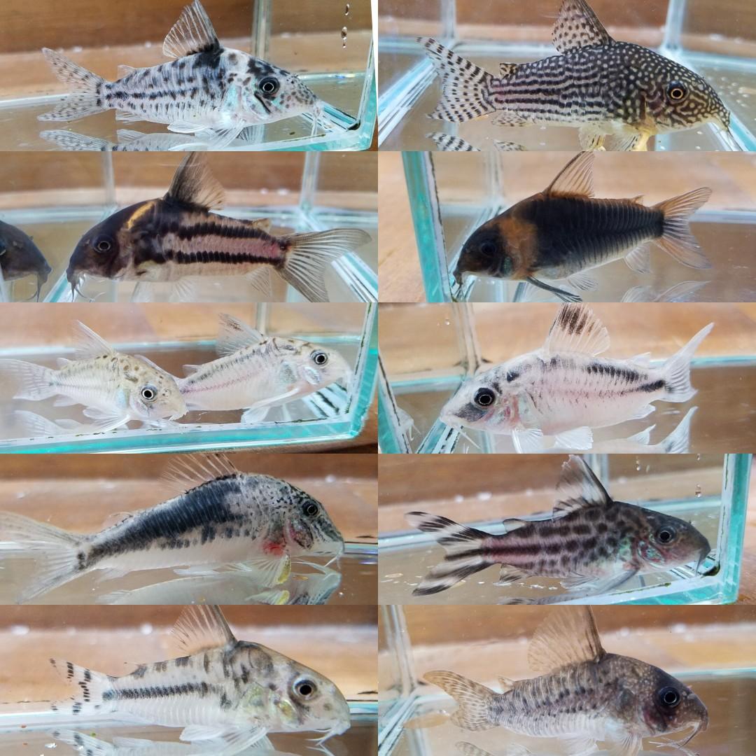 コリドラスの在庫表 春日井熱帯魚